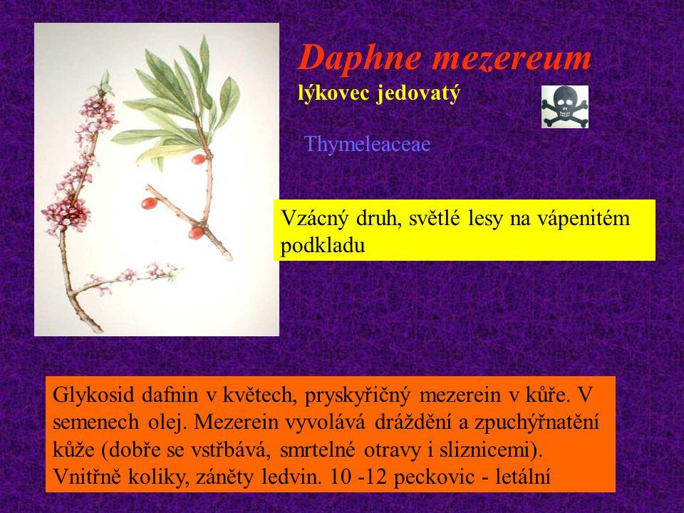 Daphne mezereum lýkovec jedovatý