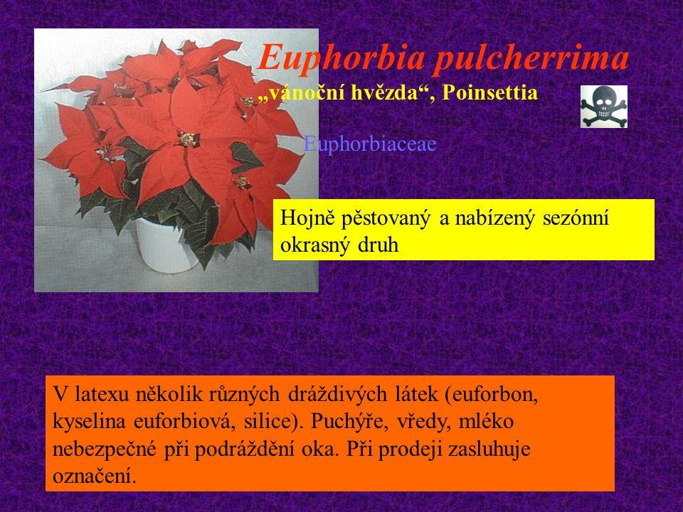 """Euphorbia pulcherrima """"vánoční hvězda , Poinsettia"""