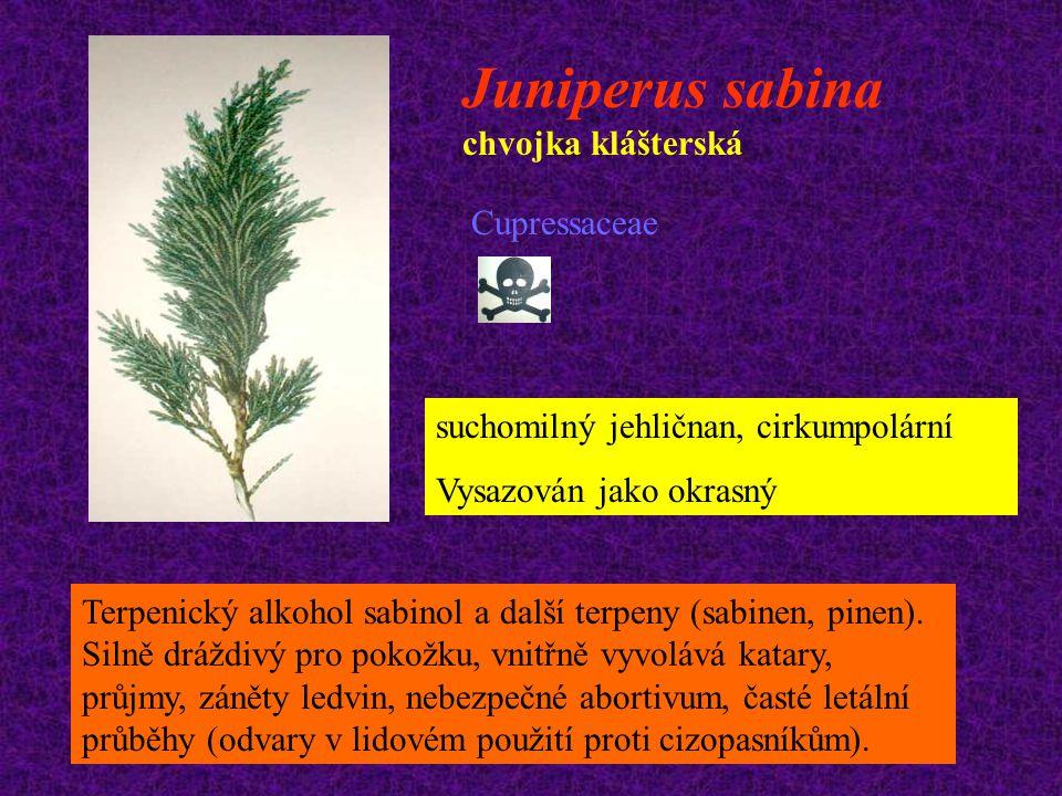 Juniperus sabina chvojka klášterská