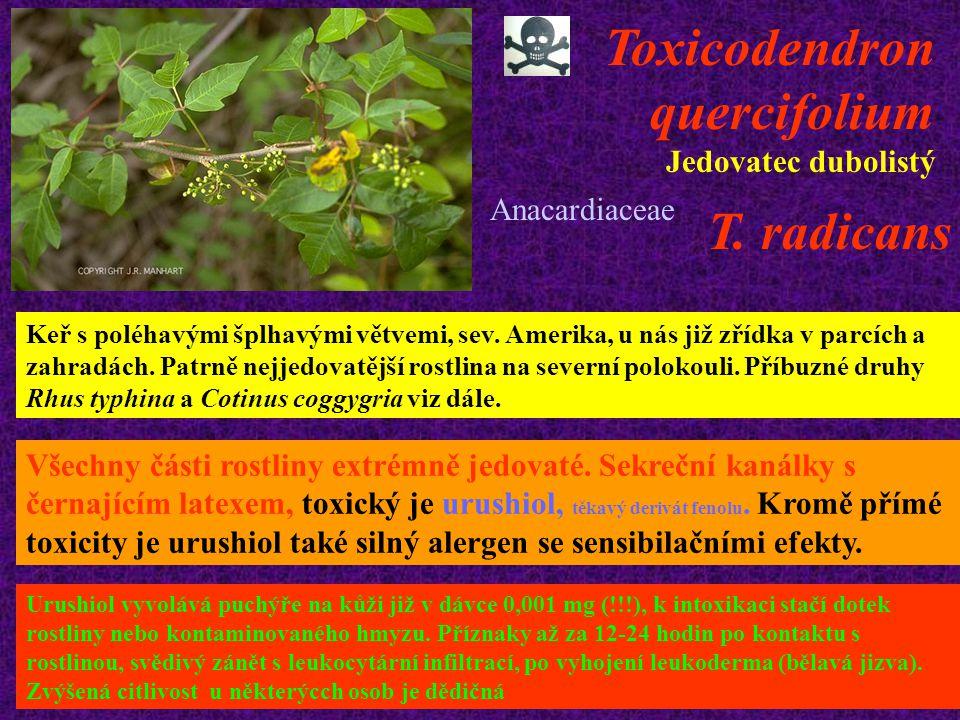 Toxicodendron quercifolium Jedovatec dubolistý