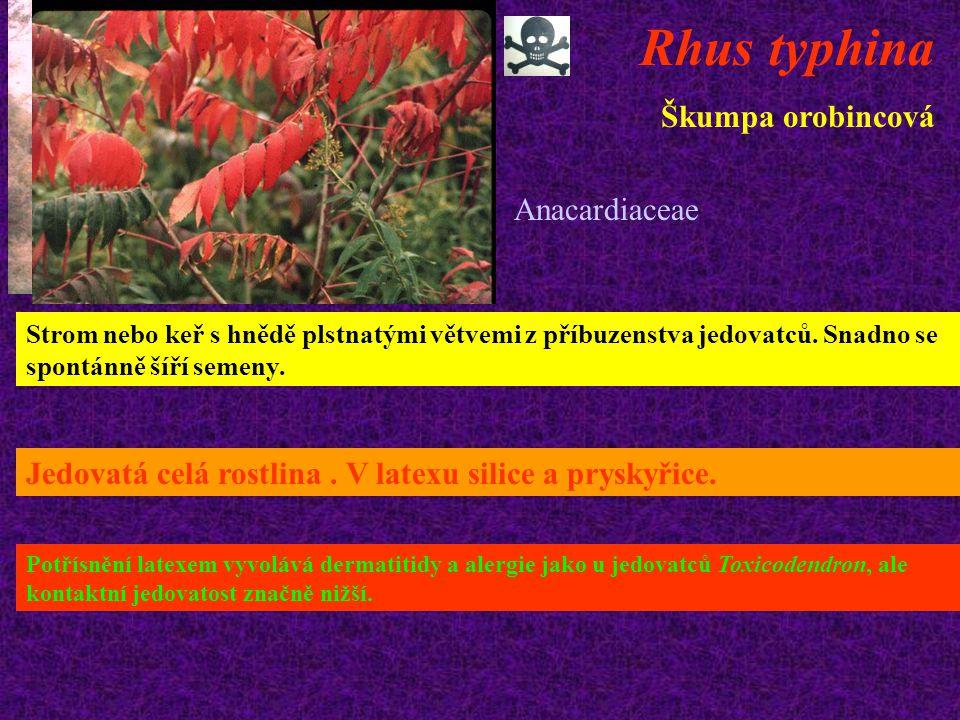 Rhus typhina Škumpa orobincová Anacardiaceae