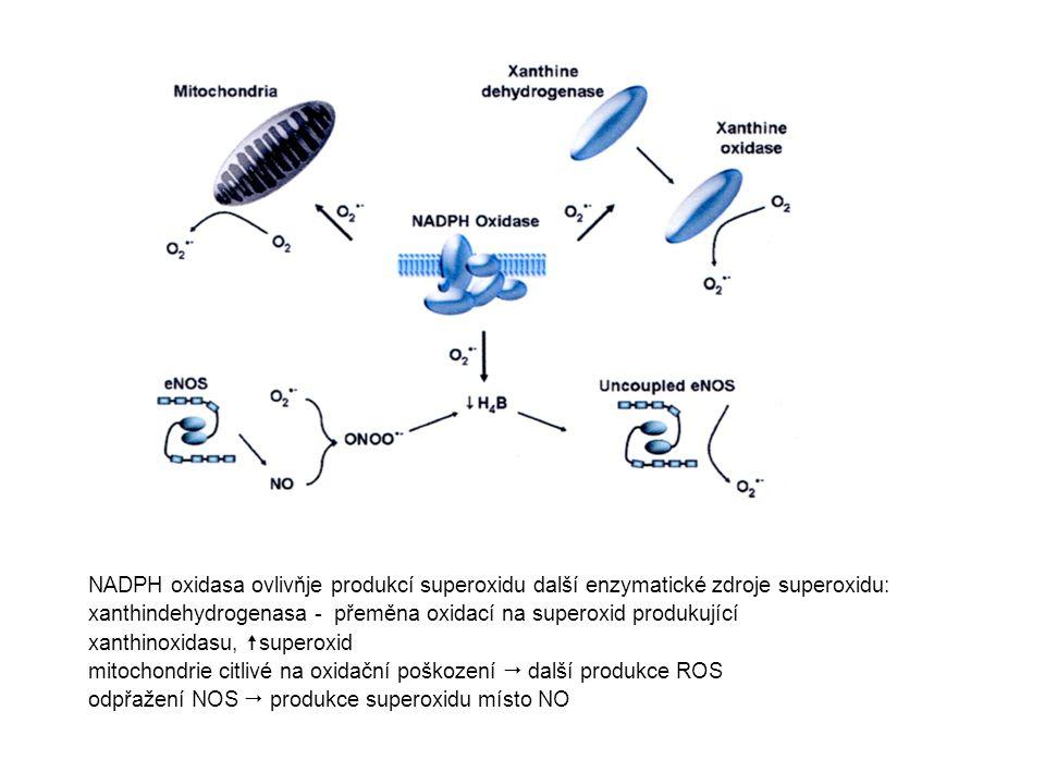 NADPH oxidasa ovlivňje produkcí superoxidu další enzymatické zdroje superoxidu:
