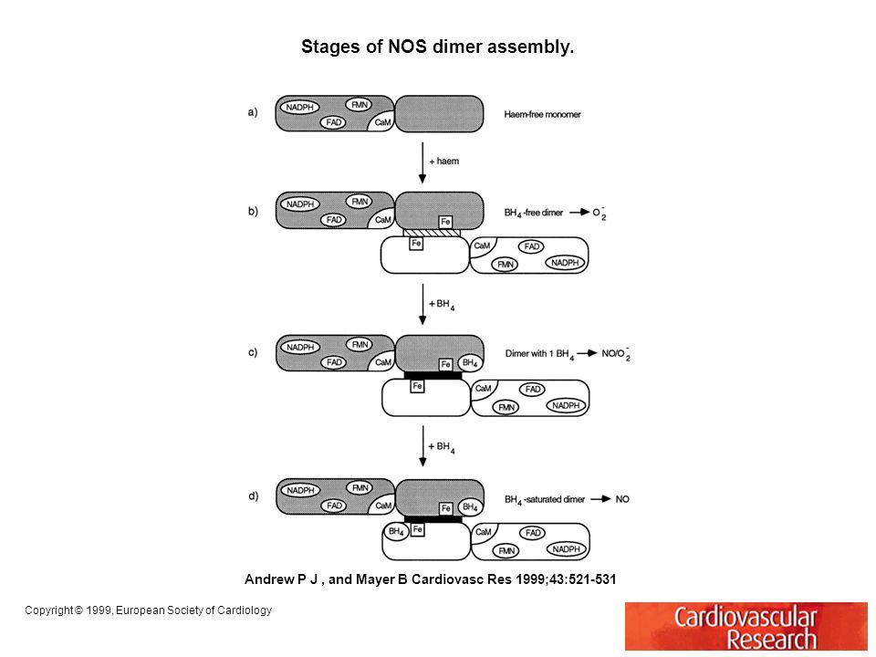 Stages of NOS dimer assembly.