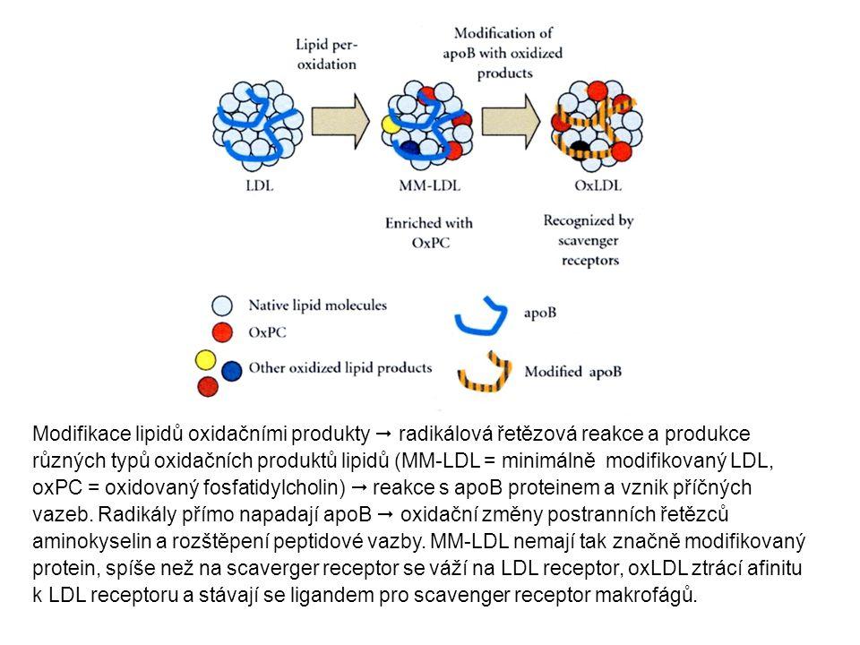 Modifikace lipidů oxidačními produkty  radikálová řetězová reakce a produkce různých typů oxidačních produktů lipidů (MM-LDL = minimálně modifikovaný LDL, oxPC = oxidovaný fosfatidylcholin)  reakce s apoB proteinem a vznik příčných vazeb.