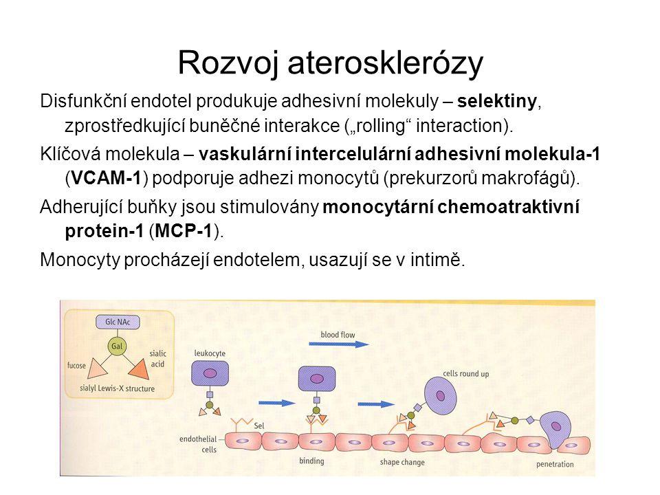 """Rozvoj aterosklerózy Disfunkční endotel produkuje adhesivní molekuly – selektiny, zprostředkující buněčné interakce (""""rolling interaction)."""