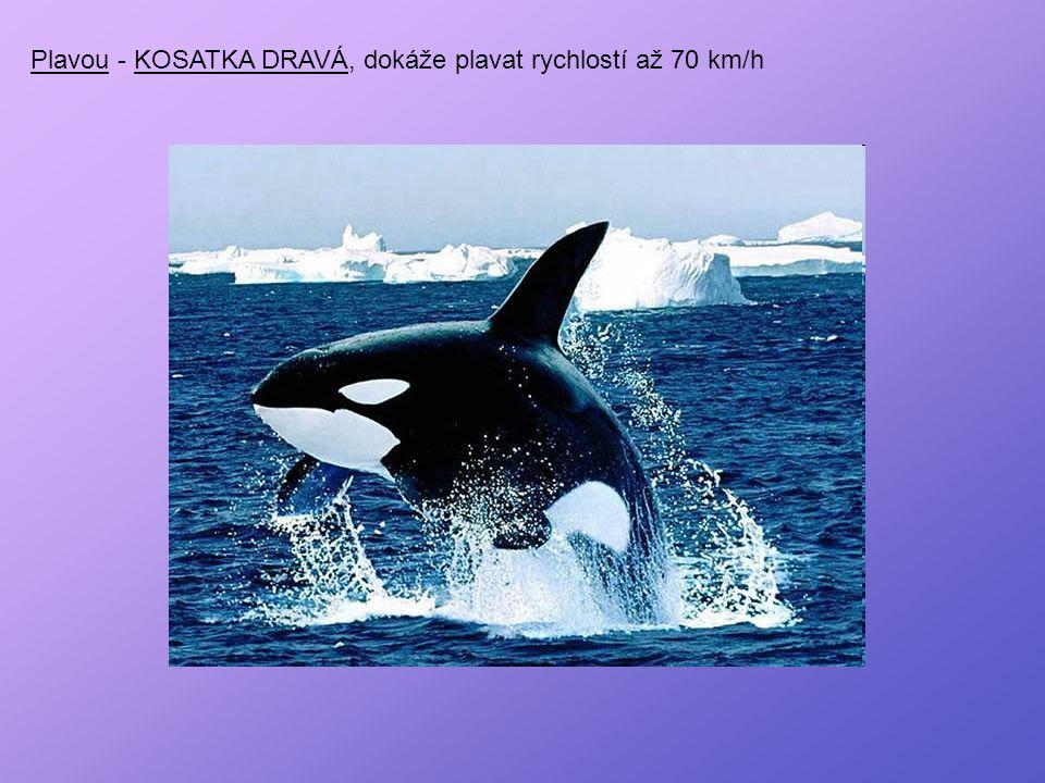 Plavou - KOSATKA DRAVÁ, dokáže plavat rychlostí až 70 km/h