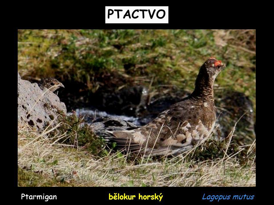 PTACTVO Ptarmigan bělokur horský Lagopus mutus