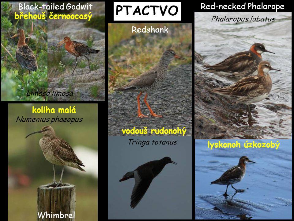 PTACTVO Black-tailed Godwit Red-necked Phalarope břehouš černoocasý