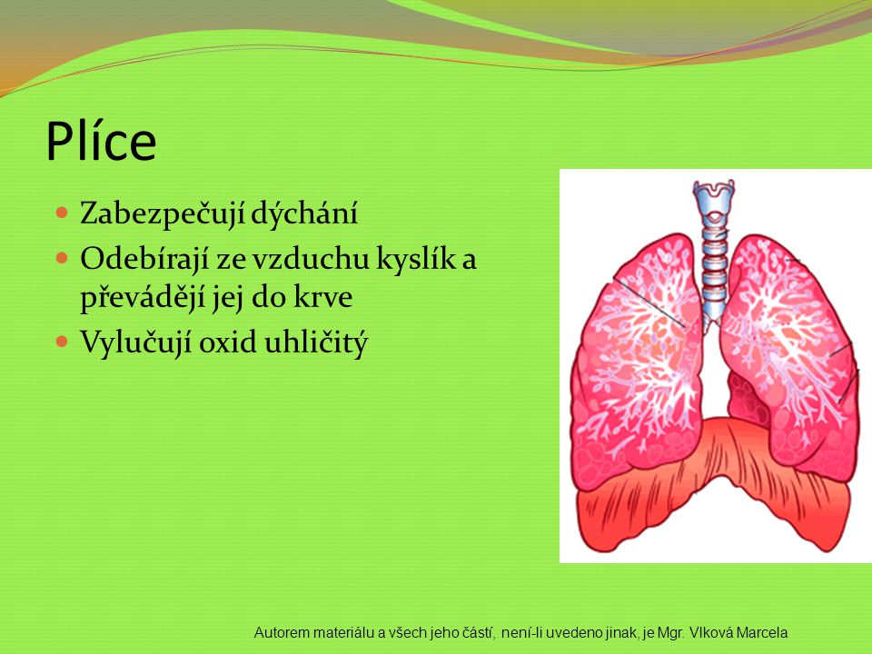 Plíce Zabezpečují dýchání
