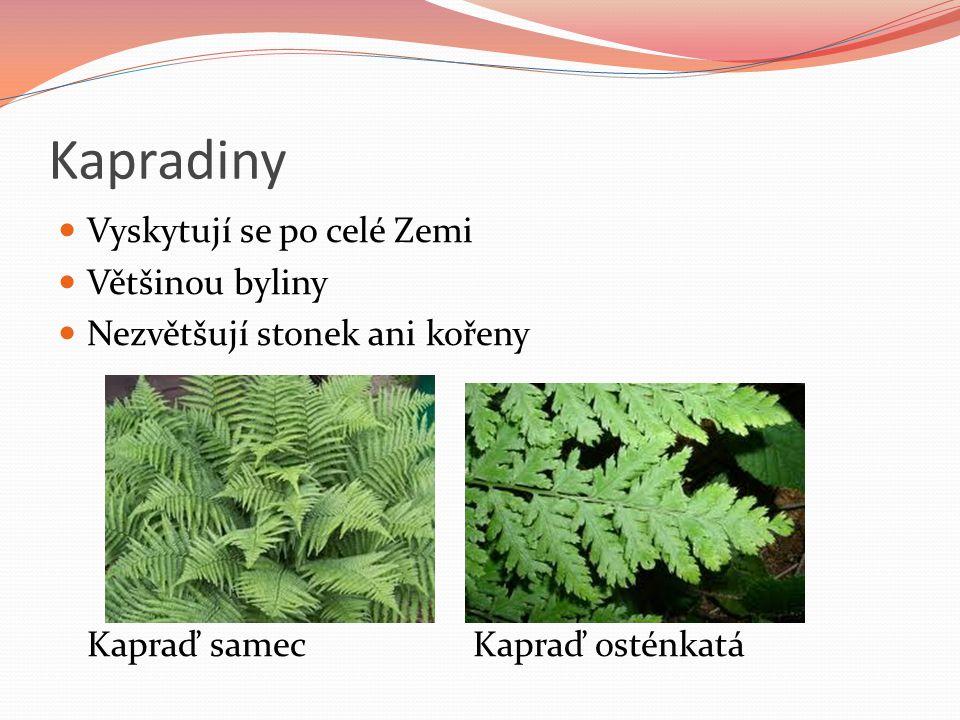 Kapradiny Vyskytují se po celé Zemi Většinou byliny