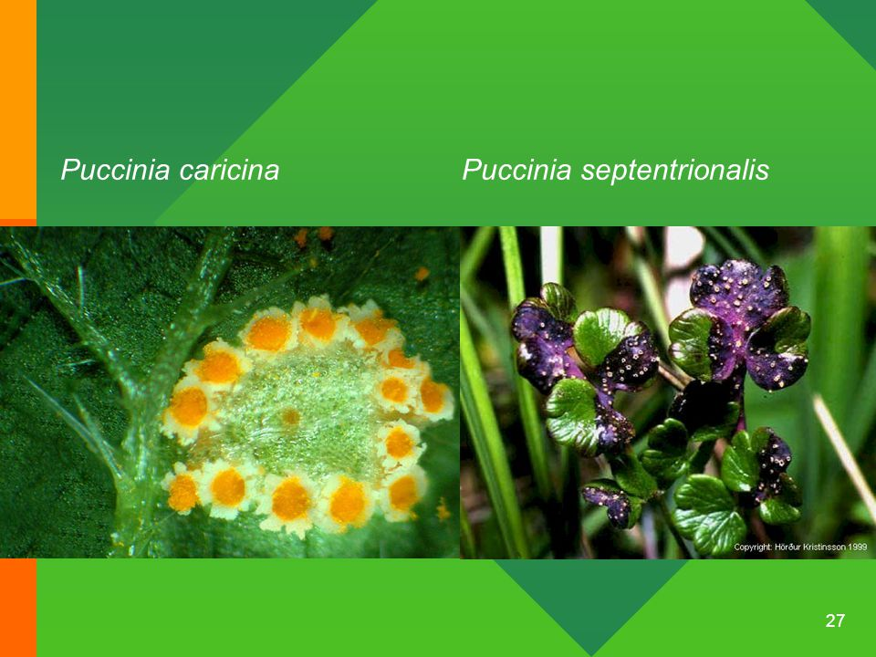 Puccinia caricina Puccinia septentrionalis