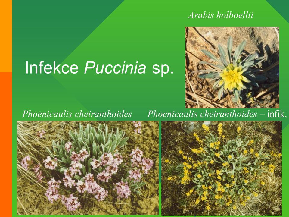 Infekce Puccinia sp. Arabis holboellii Phoenicaulis cheiranthoides