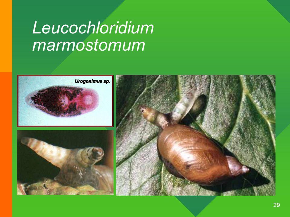 Leucochloridium marmostomum