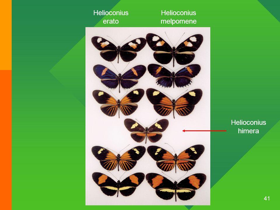 Helioconius melpomene