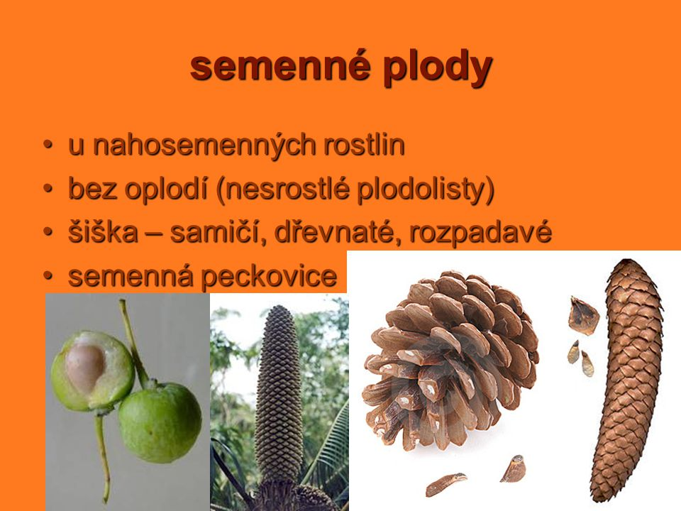 semenné plody u nahosemenných rostlin
