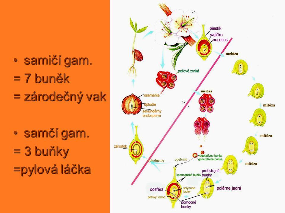 samičí gam. = 7 buněk = zárodečný vak samčí gam. = 3 buňky =pylová láčka