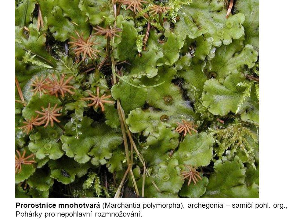 Prorostnice mnohotvará (Marchantia polymorpha), archegonia – samičí pohl. org.,