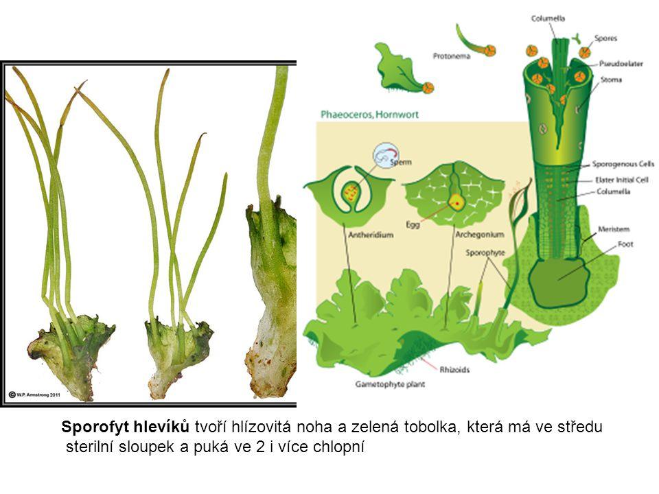 Sporofyt hlevíků tvoří hlízovitá noha a zelená tobolka, která má ve středu