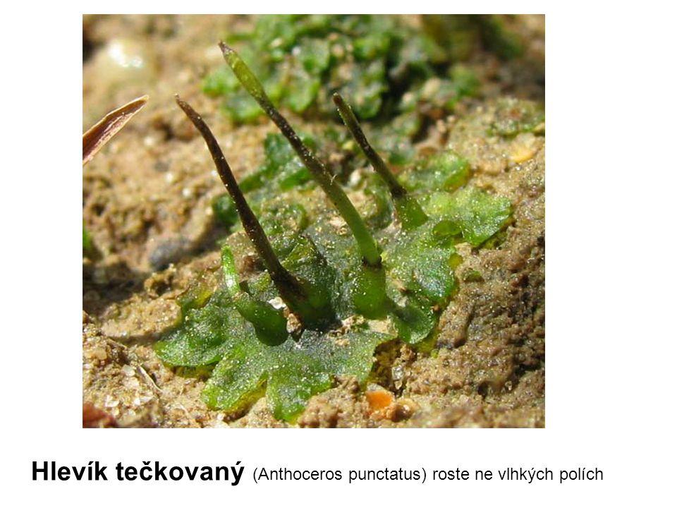 Hlevík tečkovaný (Anthoceros punctatus) roste ne vlhkých polích