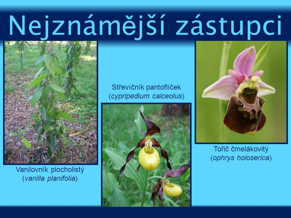 Nejznámější zástupci Střevíčník pantoflíček (cypripedium calceolus)