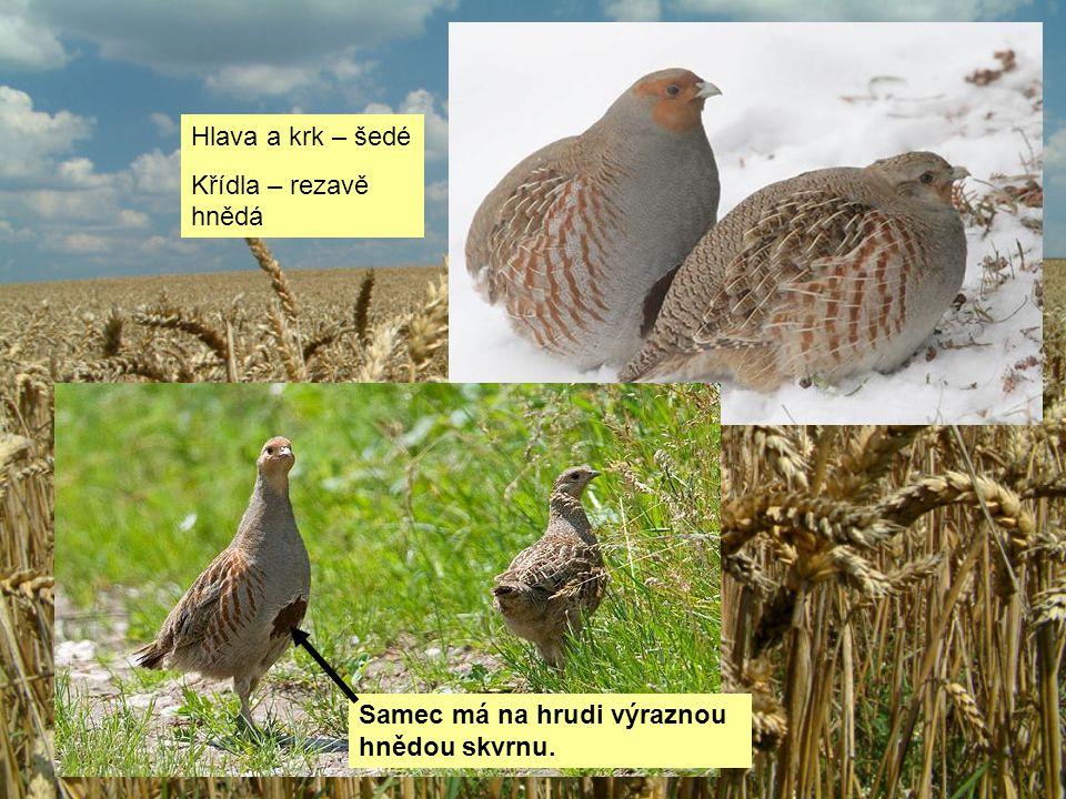 Hlava a krk – šedé Křídla – rezavě hnědá Samec má na hrudi výraznou hnědou skvrnu.