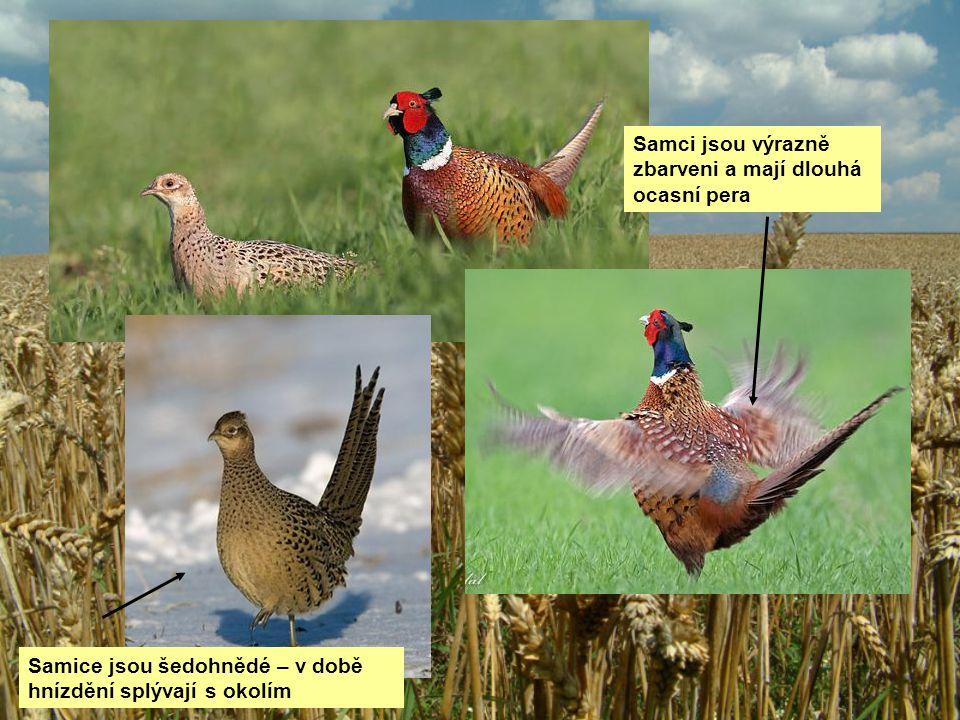 Samci jsou výrazně zbarveni a mají dlouhá ocasní pera