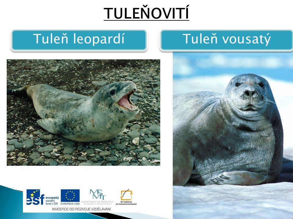 TULEŇOVITÍ Tuleň leopardí Tuleň vousatý