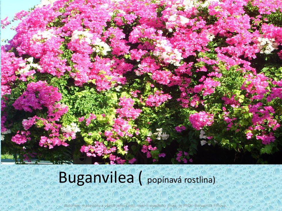 Buganvilea ( popínavá rostlina)
