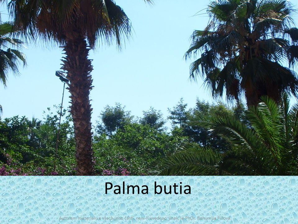 Palma butia Autorem materiálu a všech jeho částí, není-li uvedeno jinak, je PhDr. Bohumila Fillová.