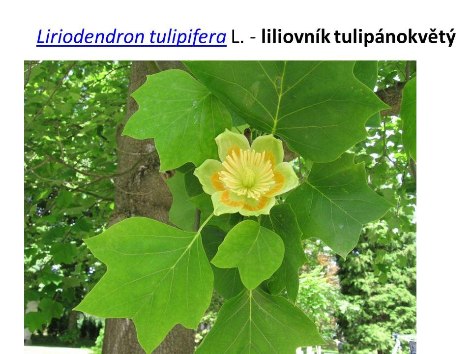Liriodendron tulipifera L. - liliovník tulipánokvětý