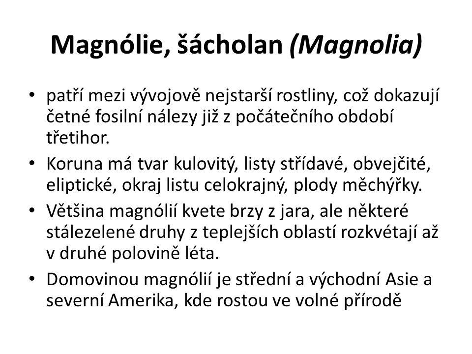 Magnólie, šácholan (Magnolia)