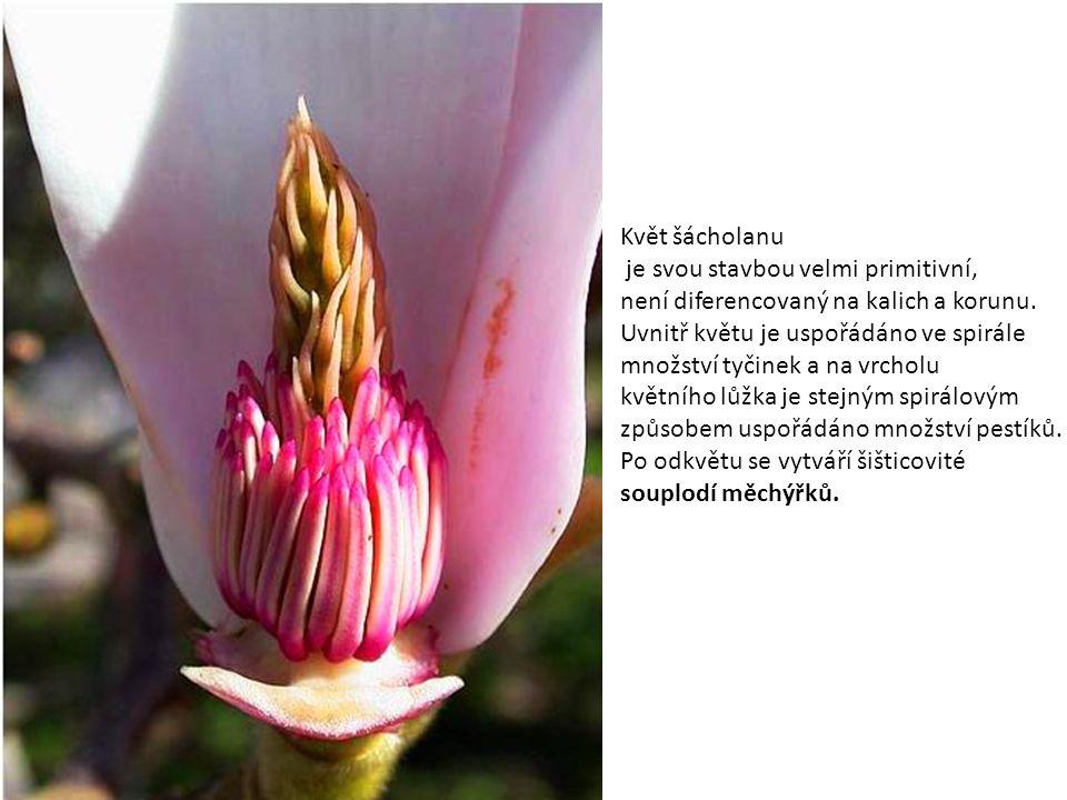 Květ šácholanu je svou stavbou velmi primitivní, není diferencovaný na kalich a korunu. Uvnitř květu je uspořádáno ve spirále.
