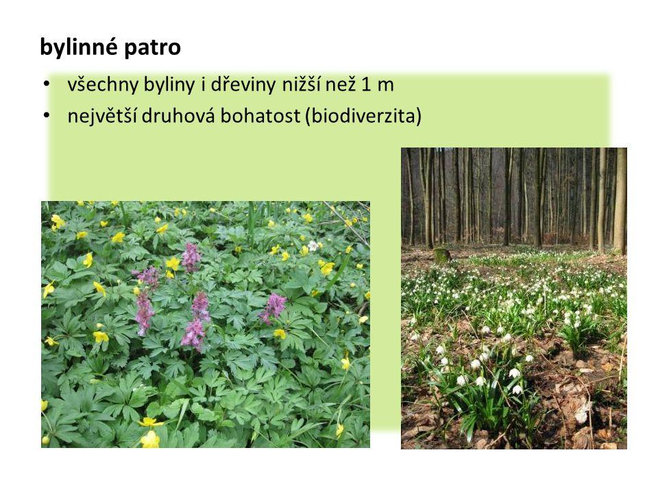bylinné patro všechny byliny i dřeviny nižší než 1 m