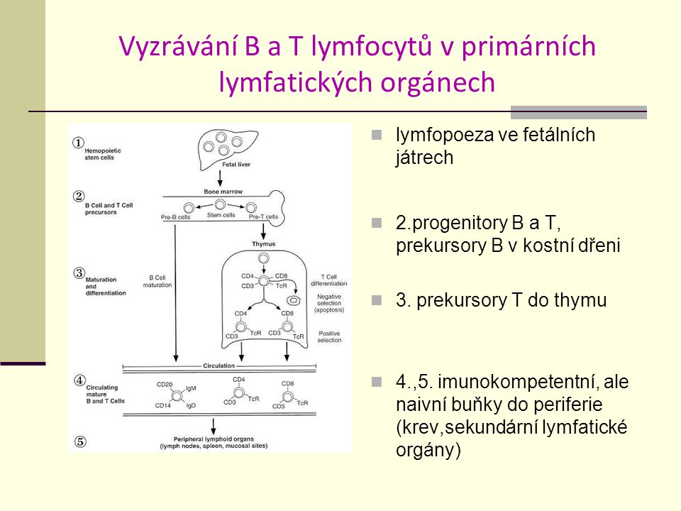 Vyzrávání B a T lymfocytů v primárních lymfatických orgánech
