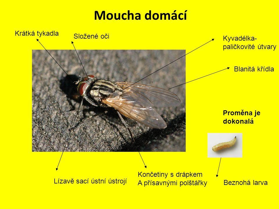 Moucha domácí Krátká tykadla Složené oči Kyvadélka- paličkovité útvary