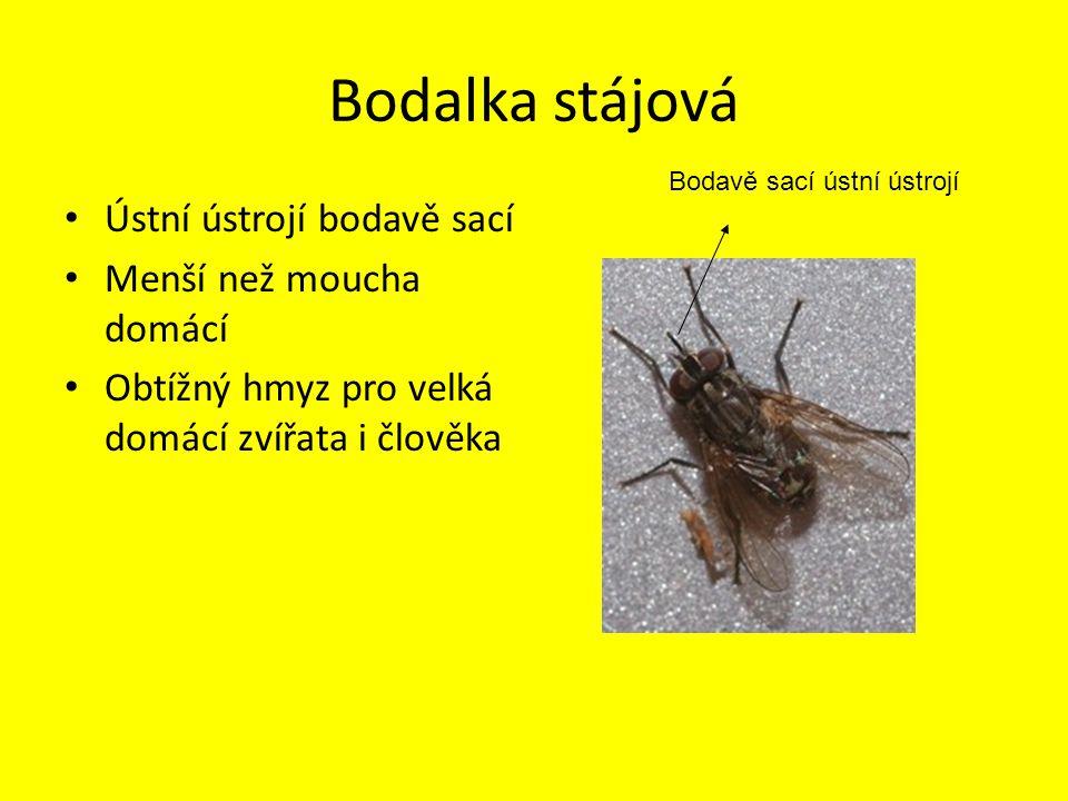 Bodalka stájová Ústní ústrojí bodavě sací Menší než moucha domácí