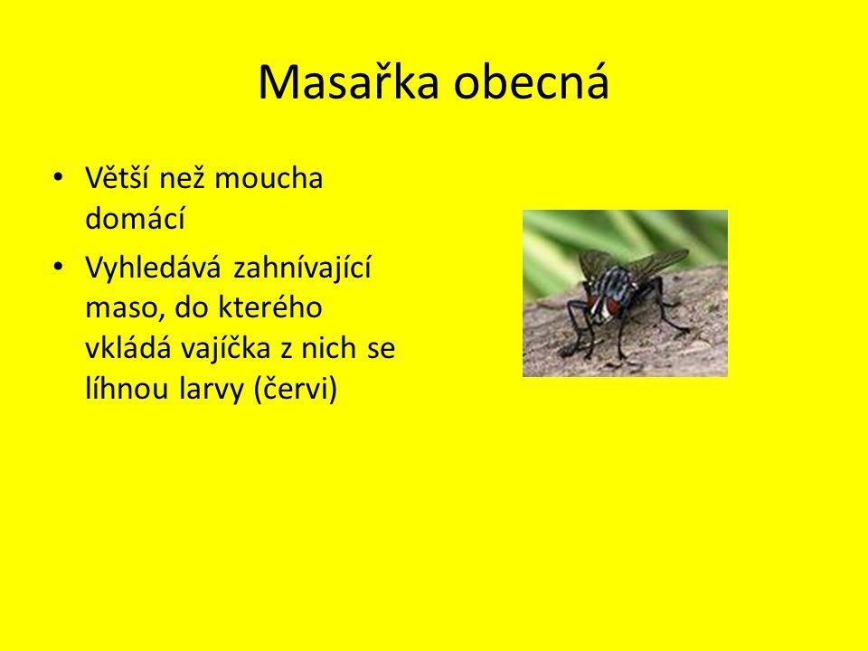 Masařka obecná Větší než moucha domácí