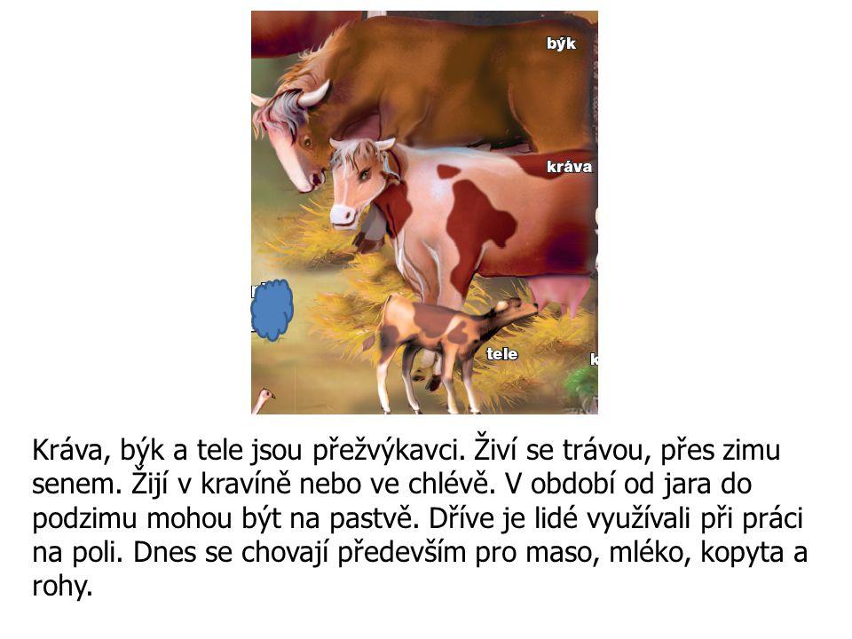 Kráva, býk a tele jsou přežvýkavci. Živí se trávou, přes zimu senem