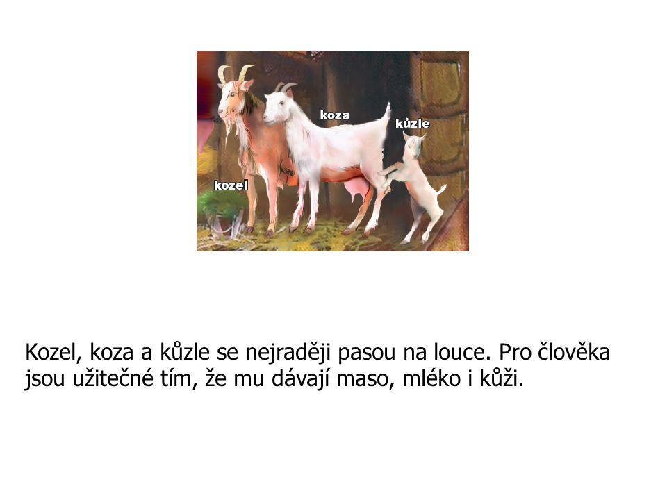 Kozel, koza a kůzle se nejraději pasou na louce