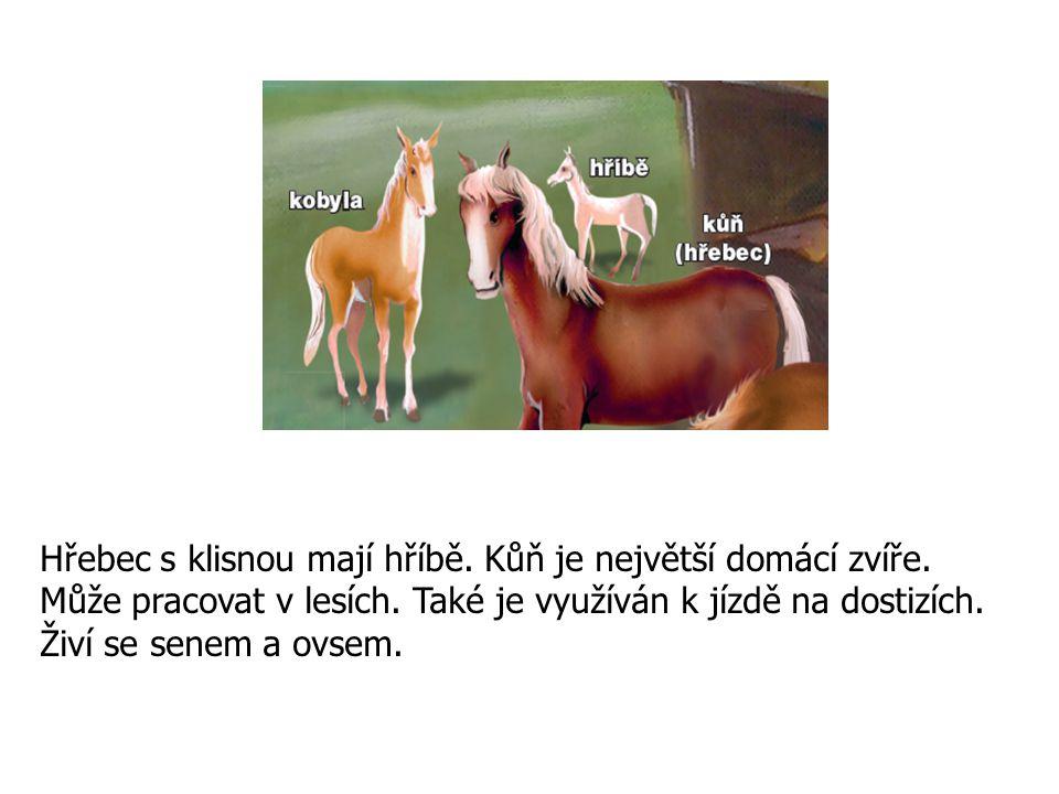 Hřebec s klisnou mají hříbě. Kůň je největší domácí zvíře