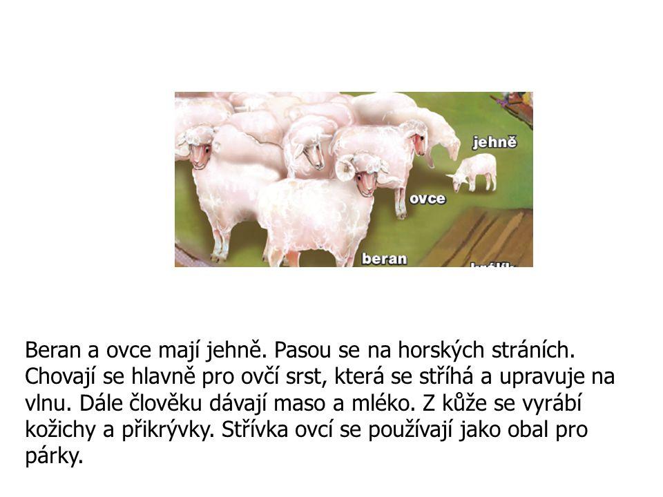 Beran a ovce mají jehně. Pasou se na horských stráních