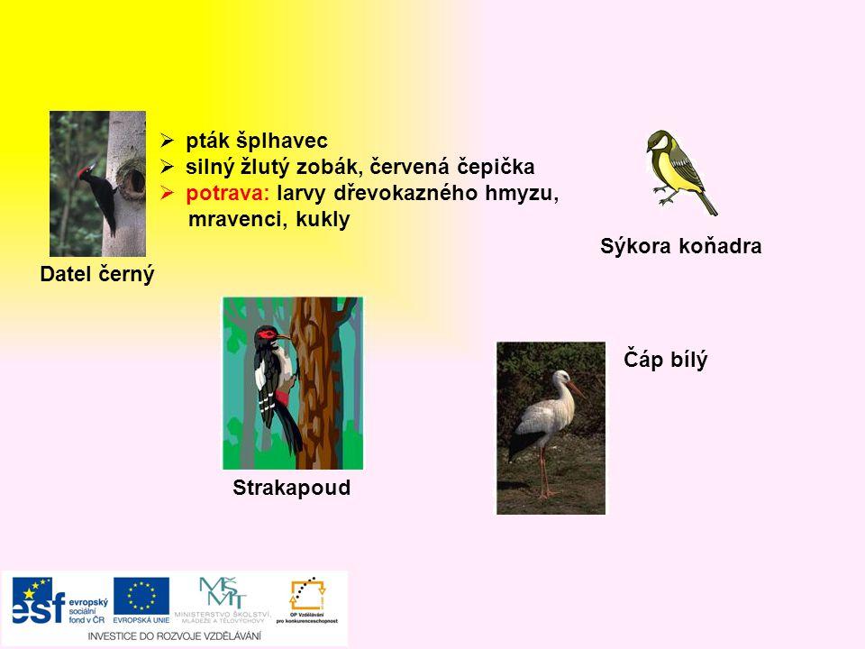 pták šplhavec silný žlutý zobák, červená čepička. potrava: larvy dřevokazného hmyzu, mravenci, kukly.
