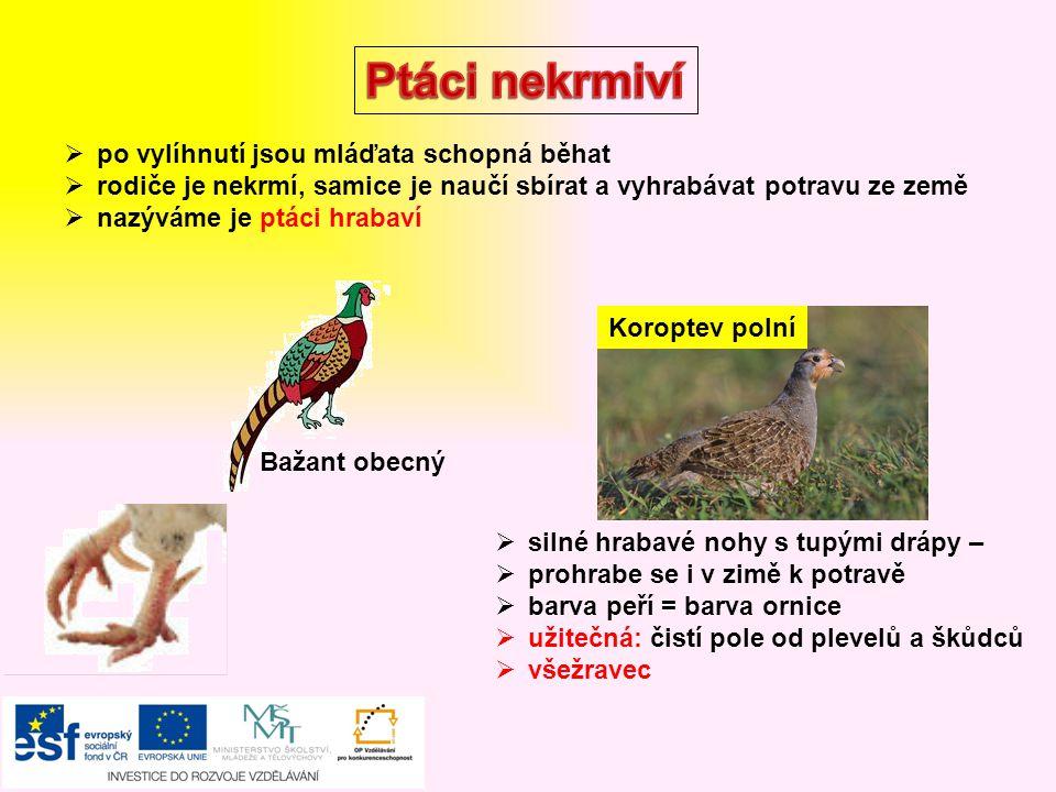 Ptáci nekrmiví po vylíhnutí jsou mláďata schopná běhat