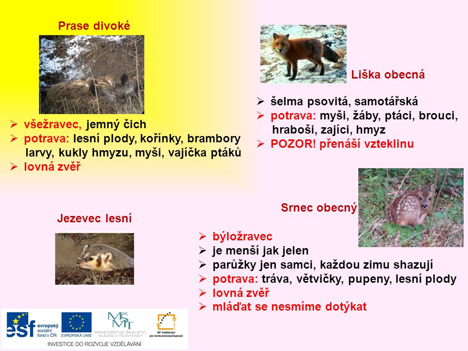 Prase divoké Liška obecná. šelma psovitá, samotářská. potrava: myši, žáby, ptáci, brouci, hraboši, zajíci, hmyz.
