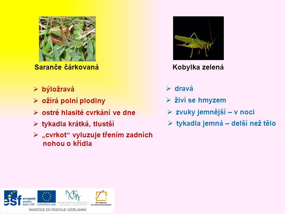 Saranče čárkovaná Kobylka zelená. býložravá. dravá. ožírá polní plodiny. živí se hmyzem. ostré hlasité cvrkání ve dne.