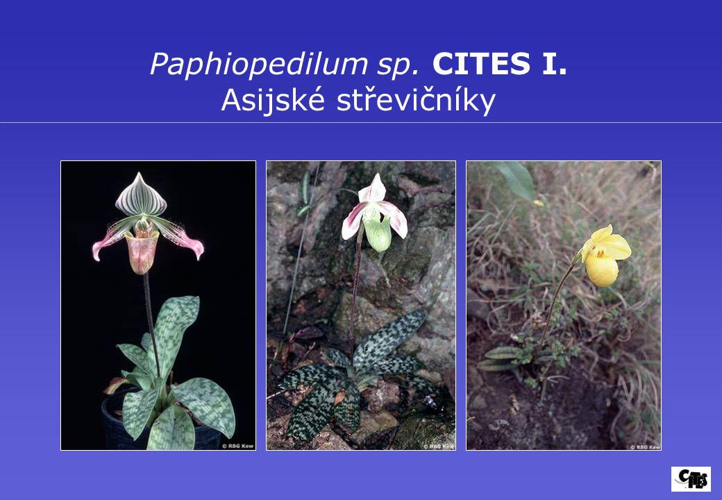 Paphiopedilum sp. CITES I. Asijské střevičníky