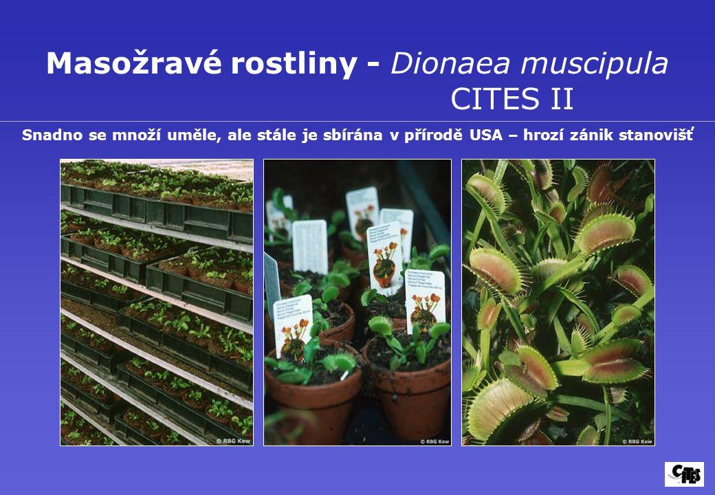 Masožravé rostliny - Dionaea muscipula CITES II