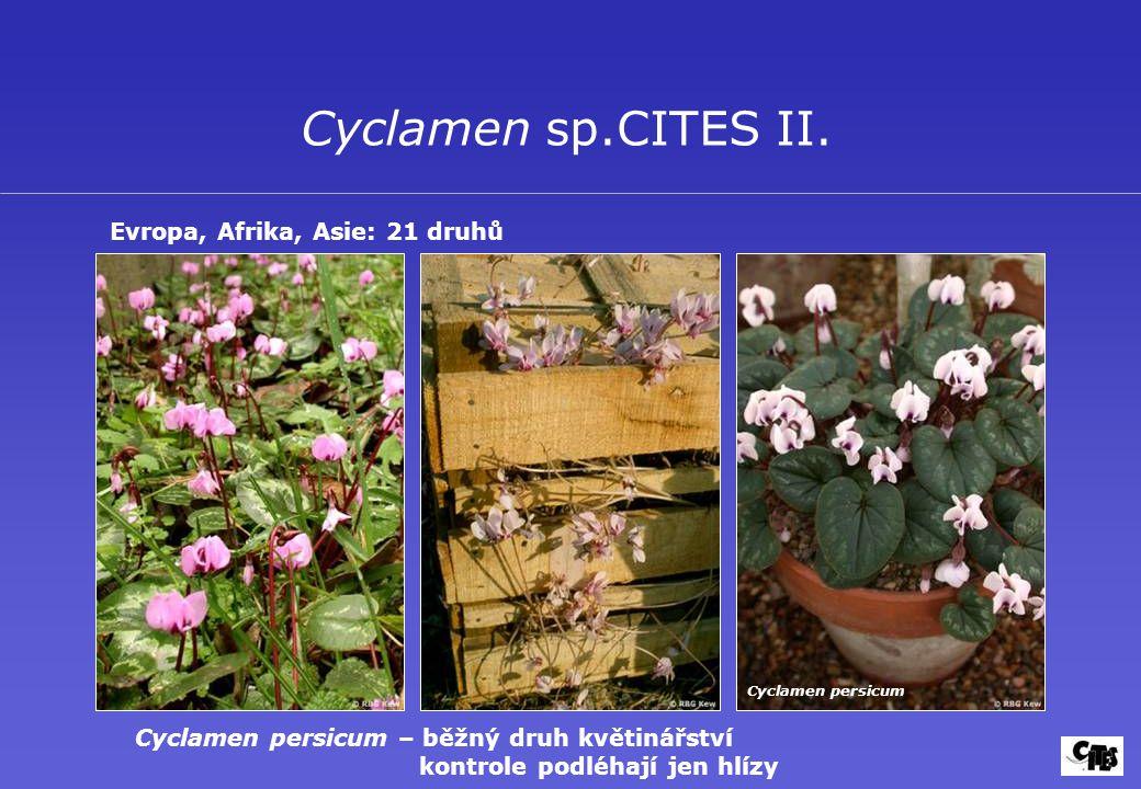 Cyclamen sp.CITES II. Evropa, Afrika, Asie: 21 druhů