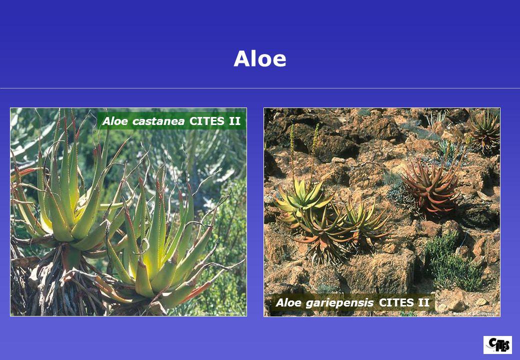 Aloe gariepensis CITES II