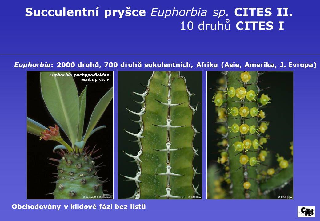 Succulentní pryšce Euphorbia sp. CITES II. 10 druhů CITES I